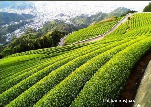Зелёный чай – польза и 5 причин начать пить его-2