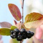 Микроэлементы в черноплодной рябине и лечебные свойства