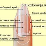 Строение ногтей на руках
