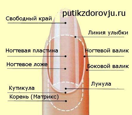 Строение ногтей на руках-1