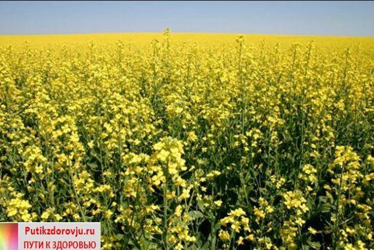 О полезных свойствах рыжикового масла-2