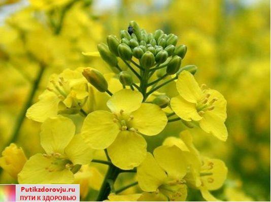 О полезных свойствах рыжикового масла-3