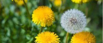 Одуванчик: лечебные свойства и применение – рецепты-1