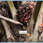 Чем вредно пальмовое масло для человека