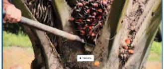 Вред пальмового масла для человека-1