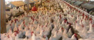 как удалить антибиотики из курицы-1