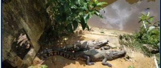 Крокодилыt-1
