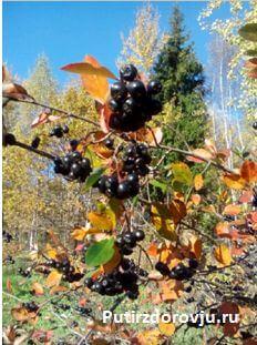 рецепт сока из черноплодки-1